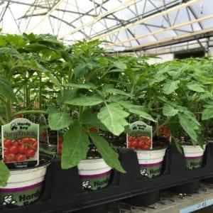 organic_tomatoes_8328