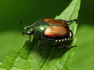 Roses and the Japanese Beetle