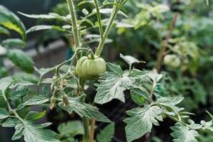 denver-co-tomato-plants