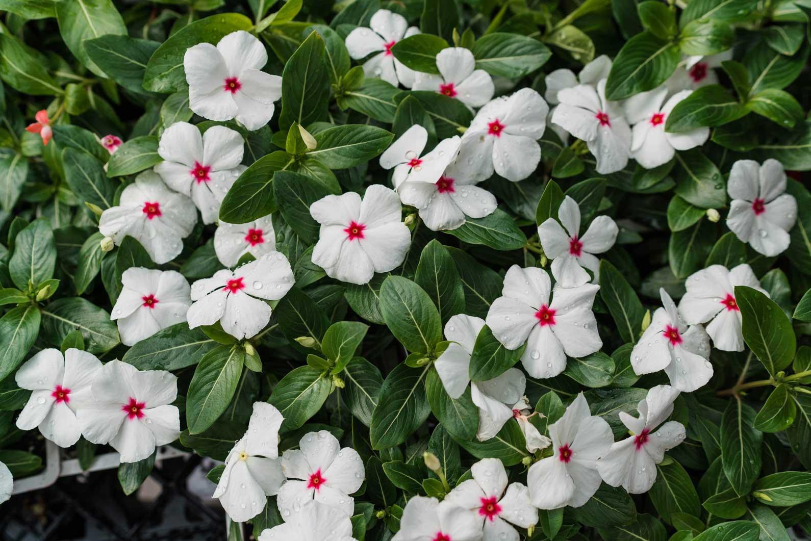 denver-colorado-annuals-garden-center