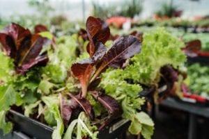denver-colorado-lettuce-plants
