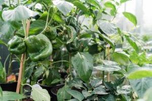 denver-colorado-pepper-plants