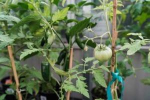 denver-colorado-tomato-plants